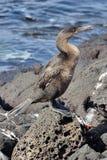 κορμοράνος flightless Στοκ Εικόνες