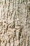 Κορμός δέντρων άλατος (Cannonball κορμός δέντρων) Στοκ φωτογραφίες με δικαίωμα ελεύθερης χρήσης