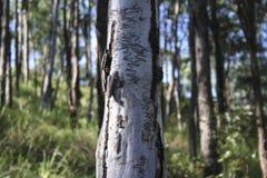 Κορμός δέντρων γόμμας Scibbly Στοκ φωτογραφία με δικαίωμα ελεύθερης χρήσης