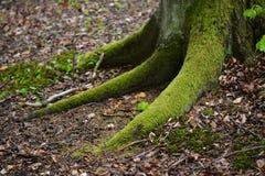 Κορμός δέντρων με τις μεγάλες ρίζες Στοκ εικόνα με δικαίωμα ελεύθερης χρήσης