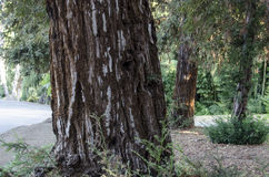 Κορμός δέντρων με τον ενδιαφέροντα φλοιό Στοκ εικόνες με δικαίωμα ελεύθερης χρήσης