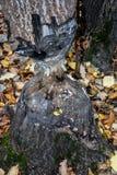 Κορμός δέντρων που τρώεται από τον κάστορα Στοκ εικόνες με δικαίωμα ελεύθερης χρήσης