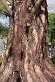 Κορμός δέντρων της Dawn redwood Στοκ φωτογραφίες με δικαίωμα ελεύθερης χρήσης