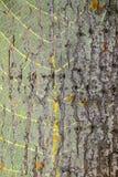 Κορμός δέντρων υποβάθρου Στοκ Εικόνες