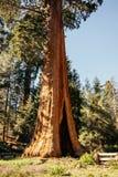 Κορμός γιγαντιαία sequoias στο δασικό άλσος Καλιφόρνιας ` s Στοκ Εικόνες