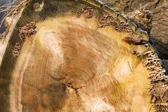 κορμός δέντρων διατομής αν&a Στοκ Εικόνα
