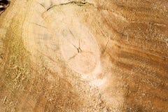 κορμός δέντρων διατομής αν&a Στοκ Εικόνες