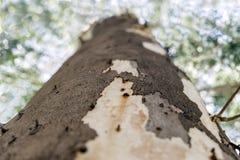 Κορμός δέντρων ευκαλύπτων στην Τουρκία στοκ εικόνες