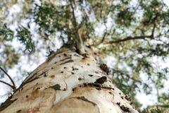 Κορμός δέντρων ευκαλύπτων στην Τουρκία στοκ εικόνες με δικαίωμα ελεύθερης χρήσης
