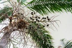 Κορμός δέντρων και φύλλο του caribian φοίνικα βασιλιάδων arecaceae regia roystonea Στοκ φωτογραφία με δικαίωμα ελεύθερης χρήσης
