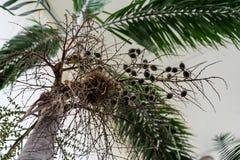 Κορμός δέντρων και φύλλο του caribian φοίνικα βασιλιάδων arecaceae regia roystonea Στοκ Φωτογραφίες