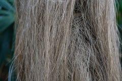 Κορμός δέντρων και φύλλο των κουβανικών arecaceae crinata φοινικών καρύδων coccothrinax Στοκ εικόνες με δικαίωμα ελεύθερης χρήσης