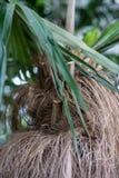 Κορμός δέντρων και φύλλο των κουβανικών arecaceae crinata φοινικών καρύδων coccothrinax Στοκ Εικόνες