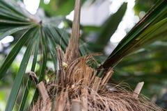 Κορμός δέντρων και φύλλο των κουβανικών arecaceae crinata φοινικών καρύδων coccothrinax Στοκ φωτογραφία με δικαίωμα ελεύθερης χρήσης