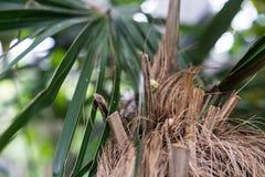 Κορμός δέντρων και φύλλο των κουβανικών arecaceae crinata φοινικών καρύδων coccothrinax Στοκ φωτογραφίες με δικαίωμα ελεύθερης χρήσης