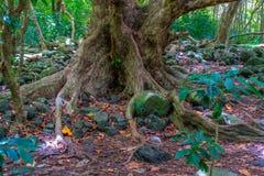 Κορμός δέντρων κοιλάδων Iao Στοκ Εικόνα