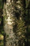 κορμός δέντρων λειχήνων Στοκ φωτογραφίες με δικαίωμα ελεύθερης χρήσης