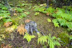 Κορμός δέντρων που περιβάλλεται από τις φτέρες στοκ φωτογραφίες