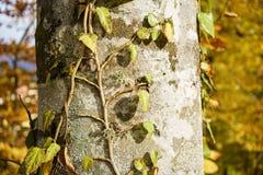 Κορμός δέντρων στο δάσος Στοκ Φωτογραφίες