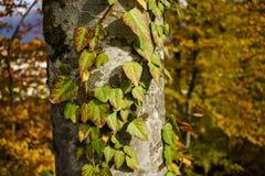 Κορμός δέντρων στο δάσος Στοκ Φωτογραφία