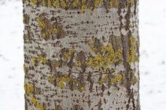 Κορμός δέντρων της Aspen με τον γκρίζο φλοιό με κάποια κίτρινος-πρασινωπή λειχήνα Στοκ εικόνα με δικαίωμα ελεύθερης χρήσης