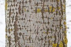 Κορμός δέντρων της Aspen με τον γκρίζο φλοιό με κάποια κίτρινος-πρασινωπή λειχήνα Στοκ Εικόνα
