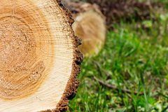 κορμός δέντρων Στοκ Εικόνες