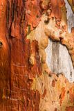 Κορμός δέντρων madrona αποφλοίωσης με τα χαρασμένα γκράφιτι Στοκ Φωτογραφία