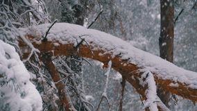 Κορμός ενός δέντρου πεύκων στο δάσος που καλύπτεται με το χιόνι το χειμώνα κατά τη διάρκεια χιονοπτώσεων κίνηση αργή απόθεμα βίντεο