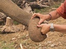 Κορμός ελεφάντων και ανθρώπινα χέρια Στοκ Φωτογραφίες