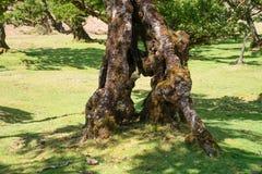 Κορμός μιας δάφνης στη Μαδέρα στοκ εικόνα με δικαίωμα ελεύθερης χρήσης