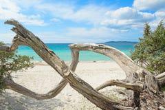 Κορμός πεύκων στην παραλία της Μαρίας Pia Στοκ Εικόνα