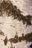 κορμός σημύδων Στοκ εικόνα με δικαίωμα ελεύθερης χρήσης