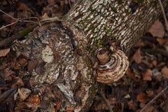 Κορμός στο δάσος με τα φύλλα μανιταριών και φθινοπώρου στοκ φωτογραφίες με δικαίωμα ελεύθερης χρήσης