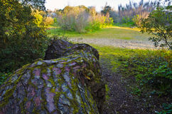 Κορμός του θαλάσσιου δέντρου πεύκων στο δάσος νησιών Yeu Στοκ φωτογραφία με δικαίωμα ελεύθερης χρήσης