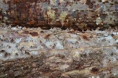 Κορμός του quinata Pachira, συνήθως γνωστός ως Pochote Στοκ εικόνα με δικαίωμα ελεύθερης χρήσης