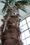 Κορμός φοινίκων Livistonia Chinensis Arecaceae, κινεζικό Livingstonpalm από τη Νοτιοανατολική Ασία Στοκ Εικόνα