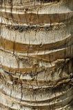 κορμός φοινικών nucifera cocos καρύδω&nu Στοκ Φωτογραφία