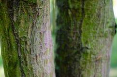 Κορμός Acer rufinerve Κινηματογράφηση σε πρώτο πλάνο βοτανικός κήπος στην Πολωνία Στοκ εικόνα με δικαίωμα ελεύθερης χρήσης