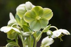 Κορσικανικά λουλούδια argutifolius Helleborus hellebore Στοκ εικόνες με δικαίωμα ελεύθερης χρήσης