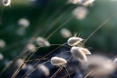 κορσικανικό λουλούδι κινηματογραφήσεων σε πρώτο πλάνο Στοκ Εικόνες
