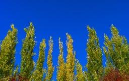 Κορυφές δέντρων λευκών της Λομβαρδίας ενάντια στο μπλε ουρανό μια θυελλώδη ημέρα αφηρημένη ανασκόπηση φυσική Δέντρα φθινοπώρου, ζ στοκ εικόνα