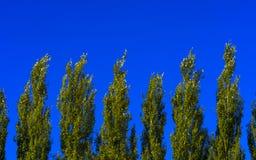 Κορυφές δέντρων λευκών της Λομβαρδίας ενάντια στο μπλε ουρανό μια θυελλώδη ημέρα αφηρημένη ανασκόπηση φυσική στοκ φωτογραφία με δικαίωμα ελεύθερης χρήσης