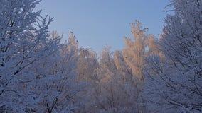 Κορυφές δέντρων που καλύπτονται με την άσπρη άποψη γωνίας παγετού χαμηλή απόθεμα βίντεο