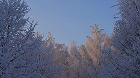 Κορυφές δέντρων που καλύπτονται με τη χαμηλή άποψη γωνίας παγετού απόθεμα βίντεο