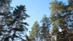 Κορυφές των δέντρων πεύκων και του ουρανού απόθεμα βίντεο