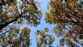 Κορυφές των βαλανιδιών που ταλαντεύονται από τον αέρα στο μπλε ουρανό απόθεμα βίντεο