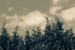Κορυφή δέντρων πεύκων Στοκ Εικόνα