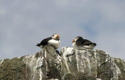 κορυφή απότομων βράχων puffins Στοκ Φωτογραφίες