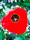 Κορυφή κάτω από την άποψη μιας τουλίπας στοκ φωτογραφίες με δικαίωμα ελεύθερης χρήσης